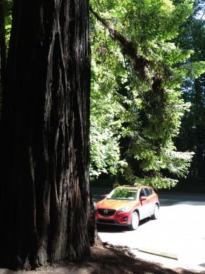 Big tree Mazda